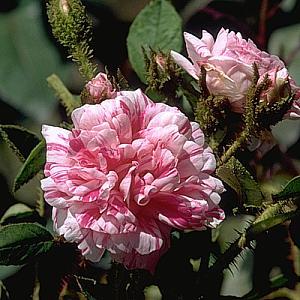 Oeillet panaché -  Découvert par Henry Shailer en  1818, cultivé par Verdier 1888 Oeillet-Panache